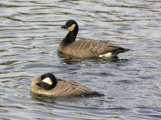cackling-geese.jpg