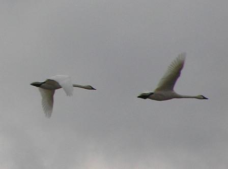tundra-swans.jpg