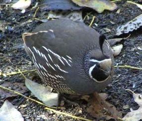 ca-quail.jpg
