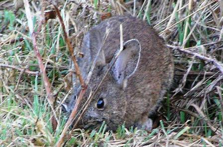 brush-rabbit.jpg