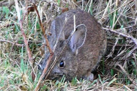 brush-rabbit.jpg
