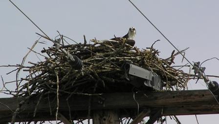 osprey-nest.jpg
