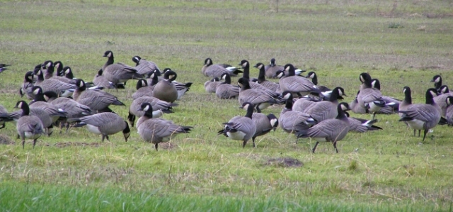 feature-sized-geese