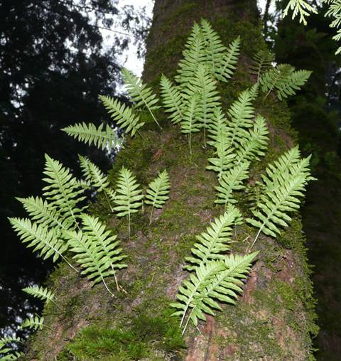 licorice-fern