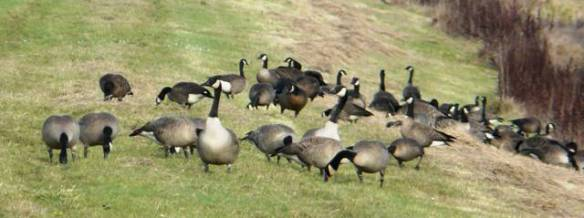 mixed-geese1