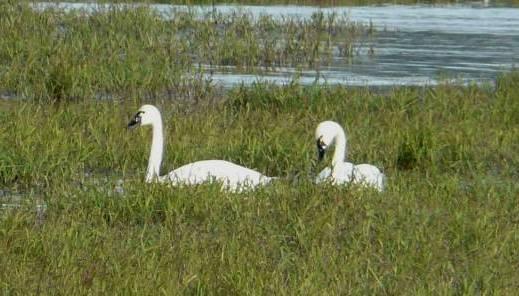 tundra-swans