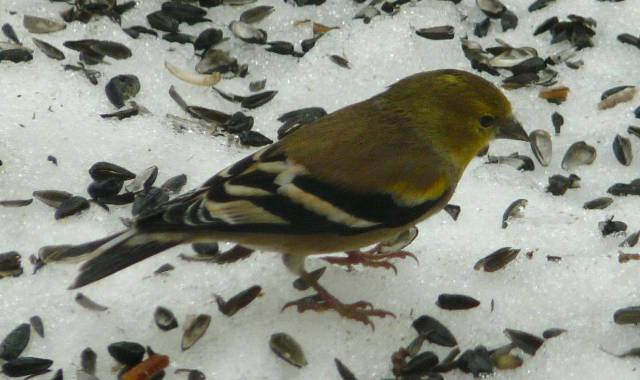 amercian-goldfinch