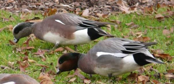 american-wigeonhybrid-wigeon