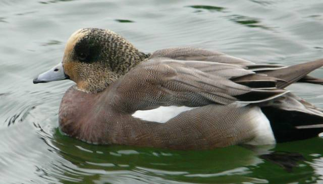 blond-american-wigeon