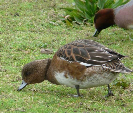 eurasian-wigeon-female2