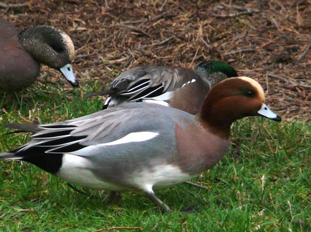 eurasian-wigeon-male