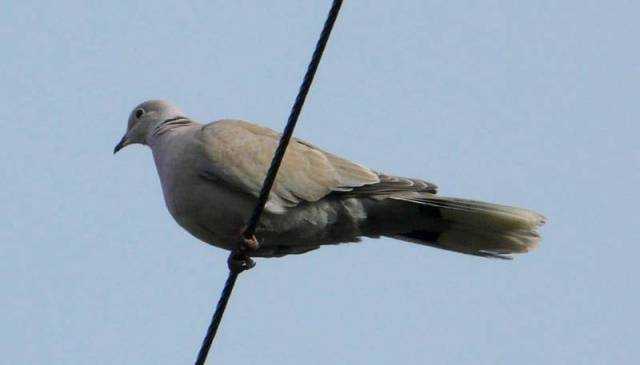 eurasian-collared-dove