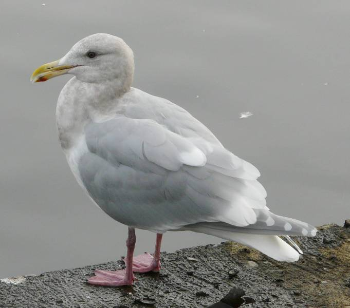 glaucous-winged