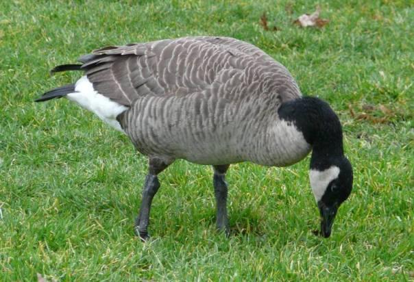 lesser-canada-grazing