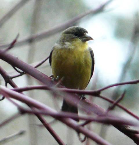 lesser-goldfinch