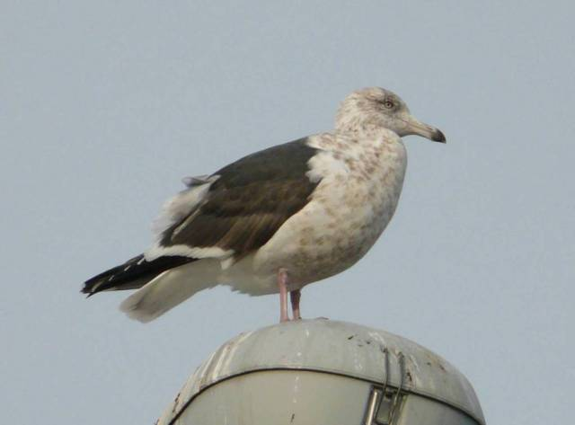 slaty-backed-gull