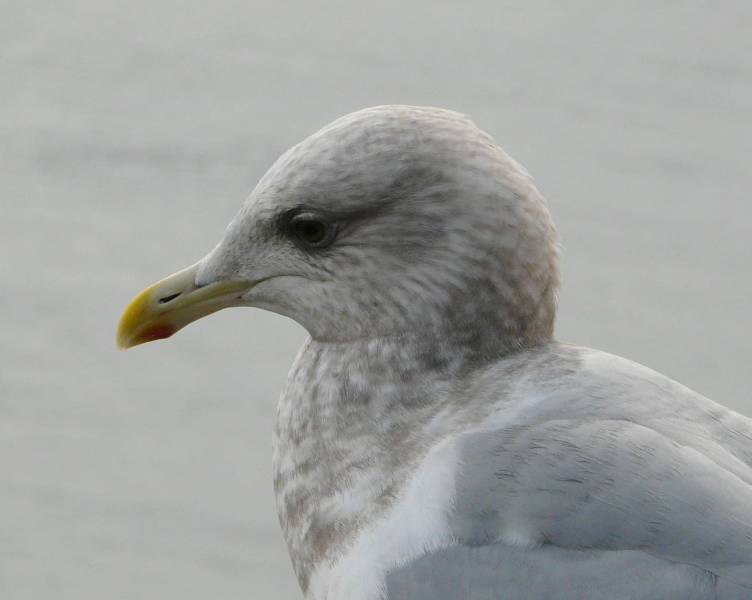 ODFW, Oregon Wildlife Species: Gulls and Terns |Thayers Gull