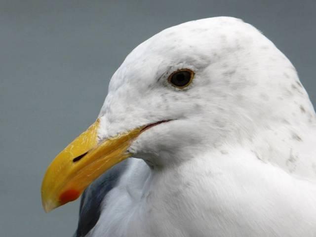 western-gull