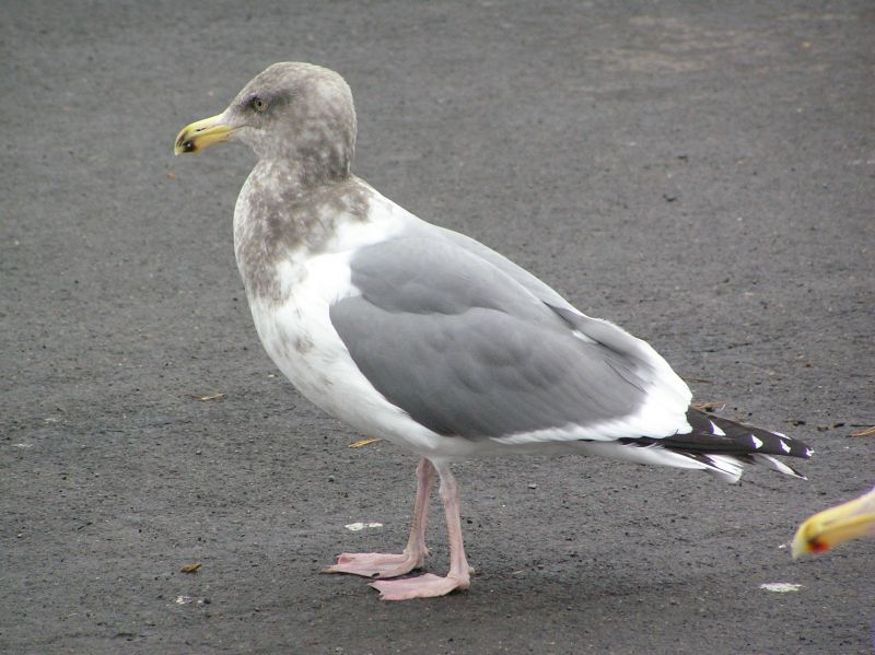 Slaty-backed Gull | Bird⋅The⋅Rock