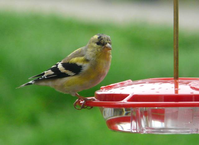 goldfinch-on-hummer-feeder