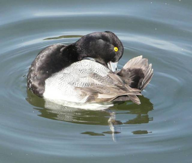 lesser-scaup-male