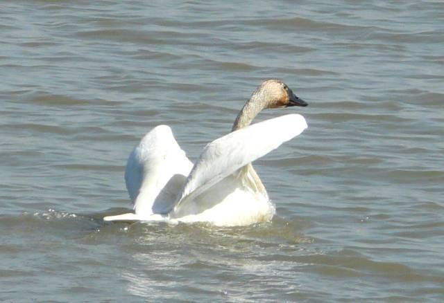 tundra-swan-takeoff