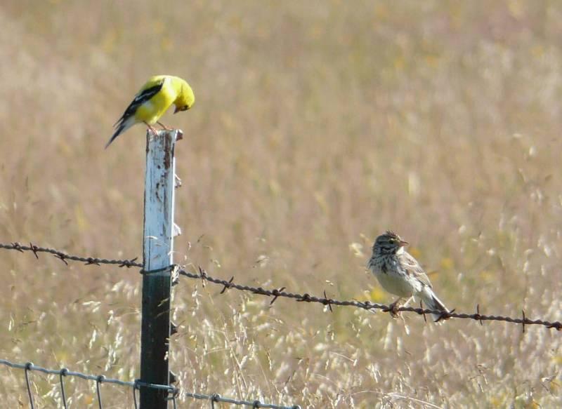 am goldfinch savannah2