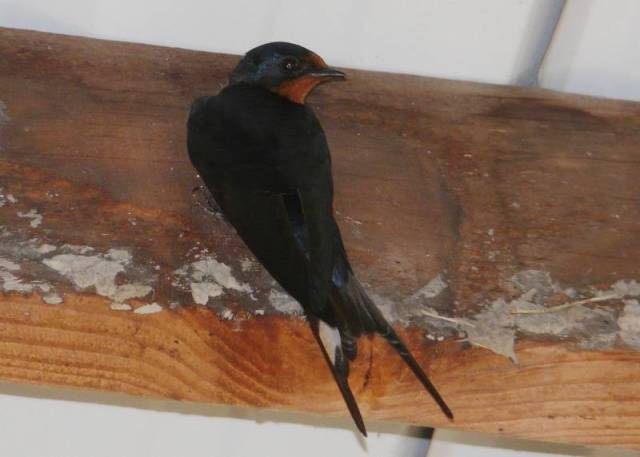 barn swallow back