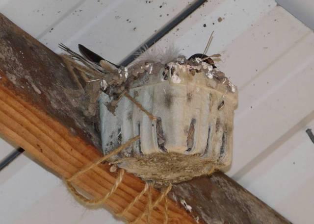 barn swallow berry box