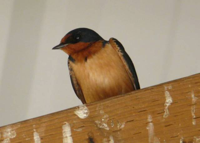 barn swallow front