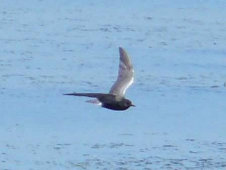 black tern1