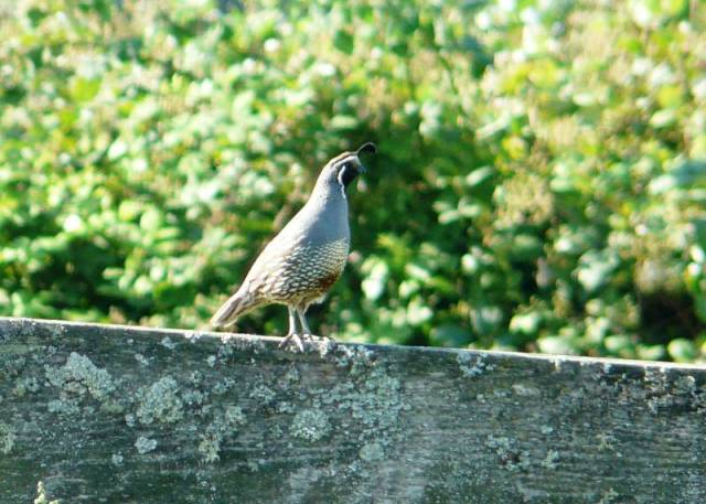 ca quail