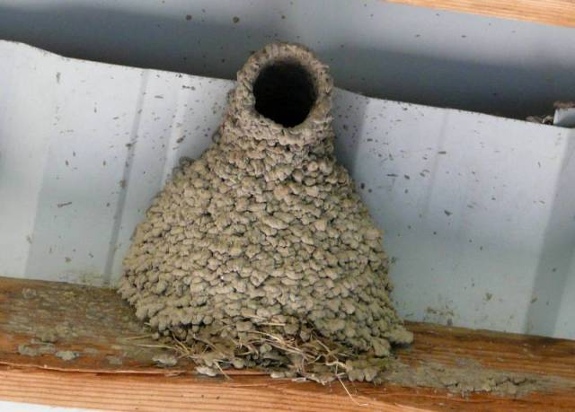 cliff swallow nest