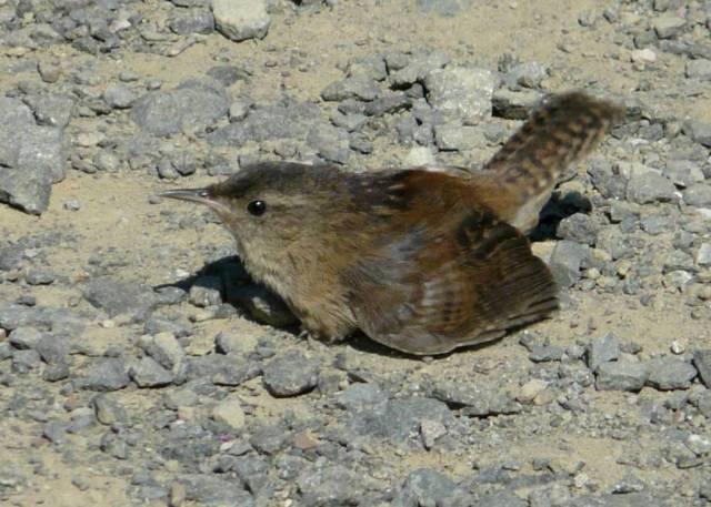 Marsh Wren22