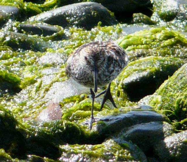 western sandpiper palmation