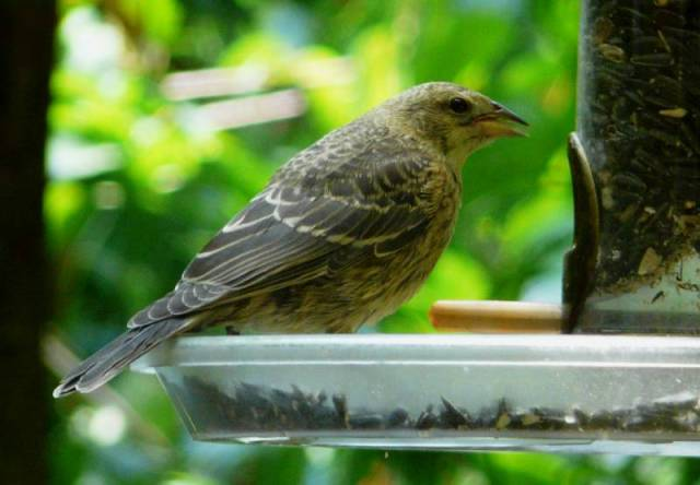 bh cowbird on feeder