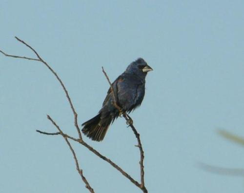 blue grosbeak male