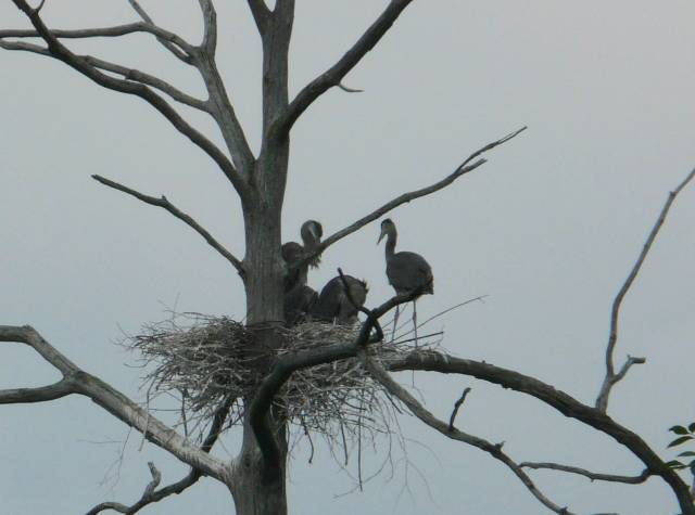 gb heron nest