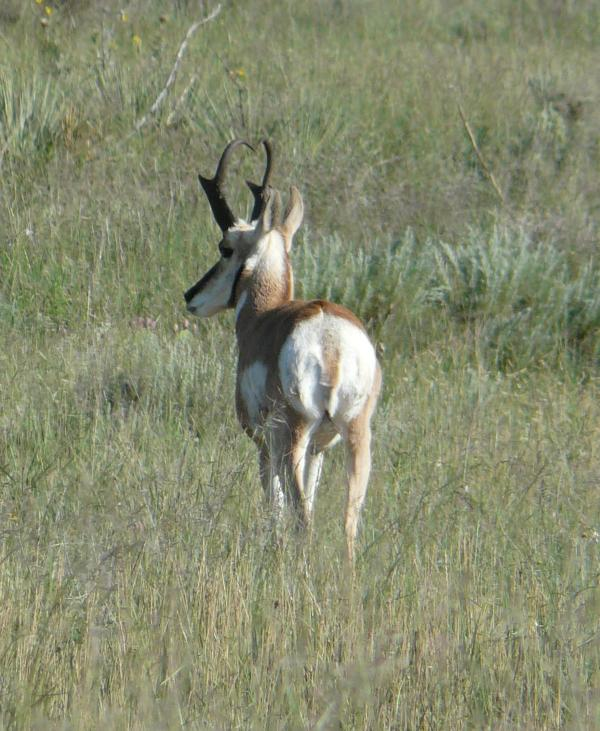 pronghorn back