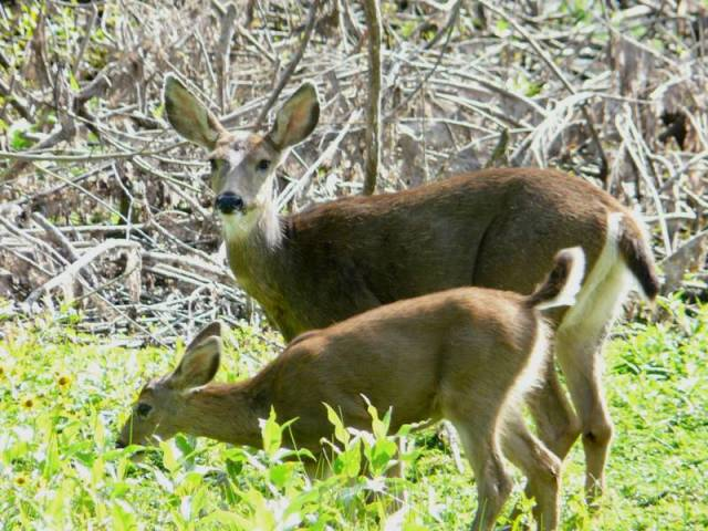 black-tailed doe and fawn