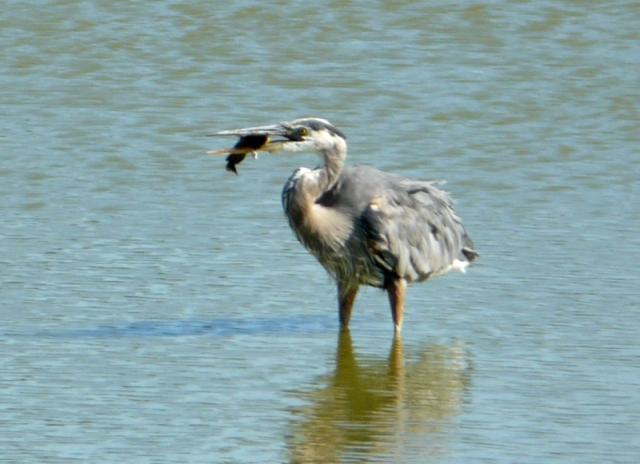 gb heron with catfish