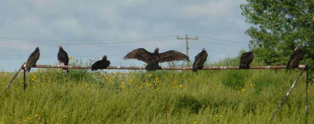 turkey vulture line-up