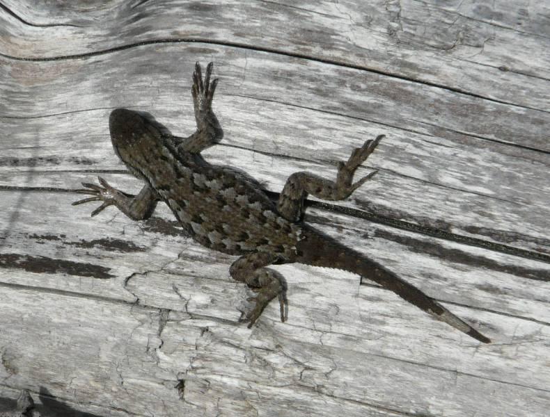 western fence lizard 1