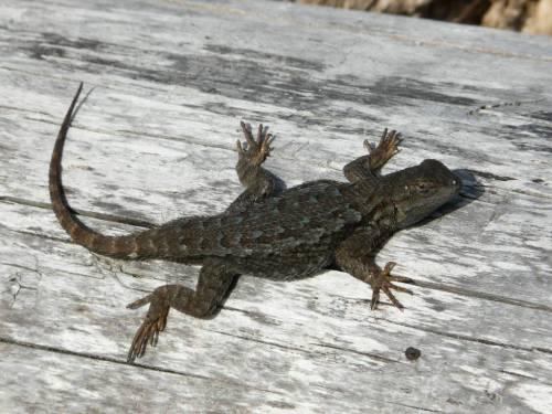 western fence lizard 2