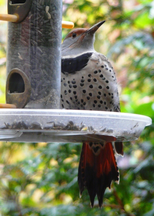northern flicker female