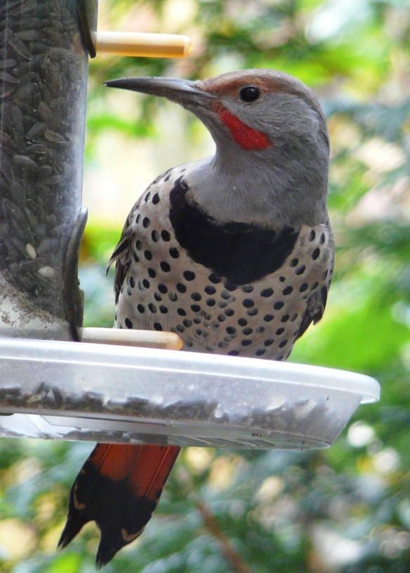 northern flicker male front