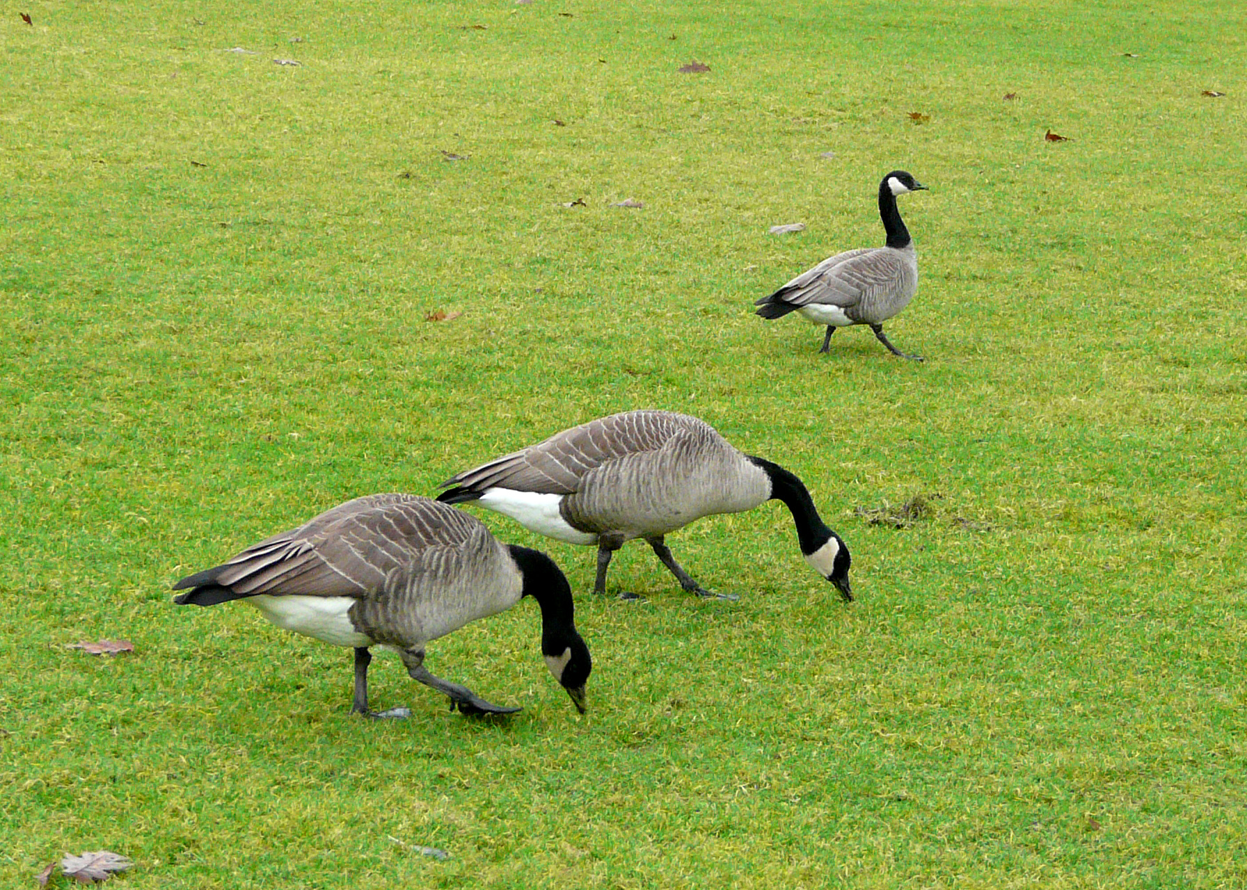canada goose com