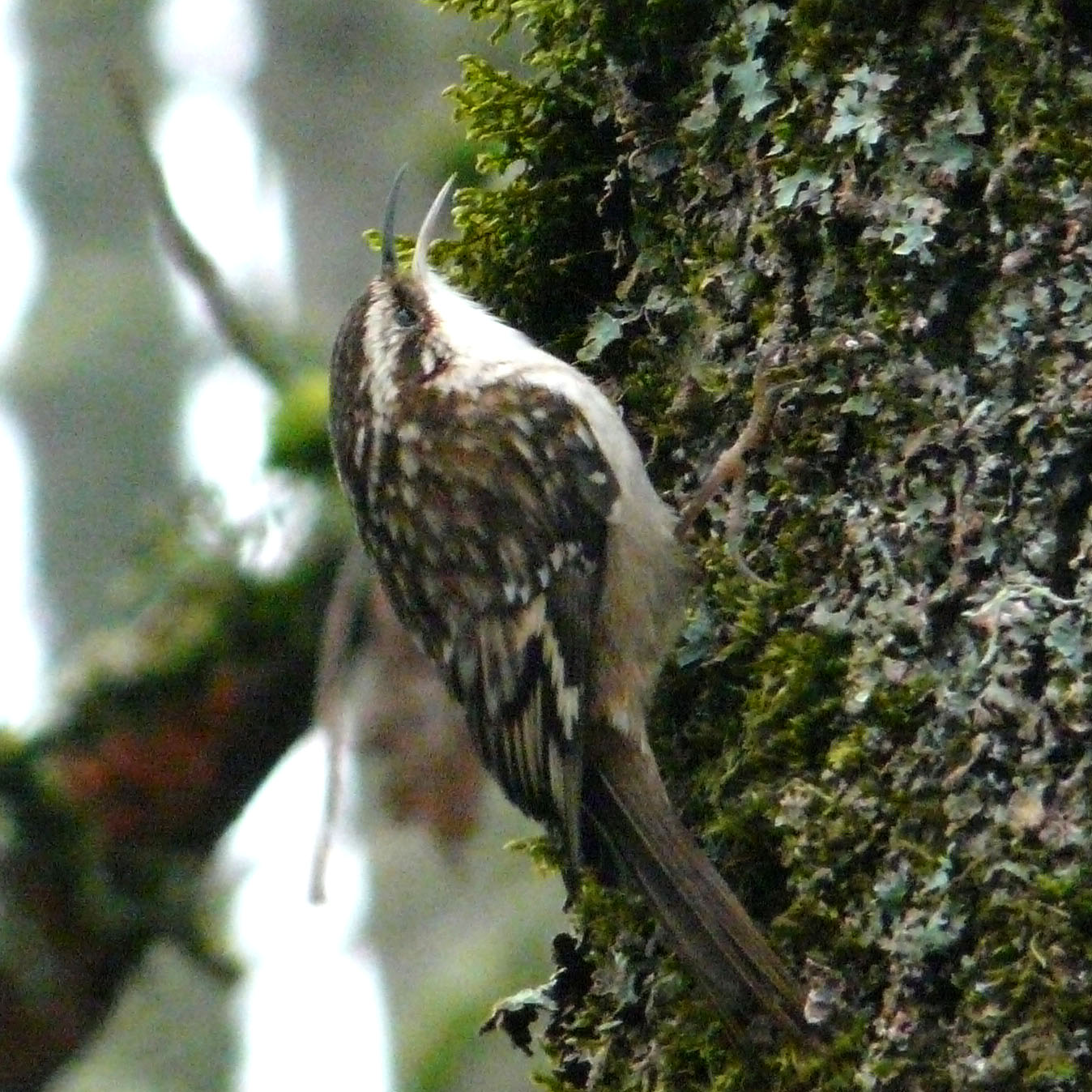 brown creeper coloring pages - photo#44