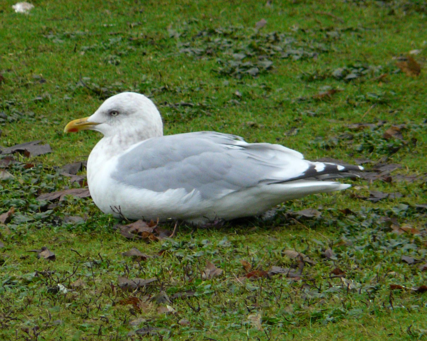 Female seagull - photo#43
