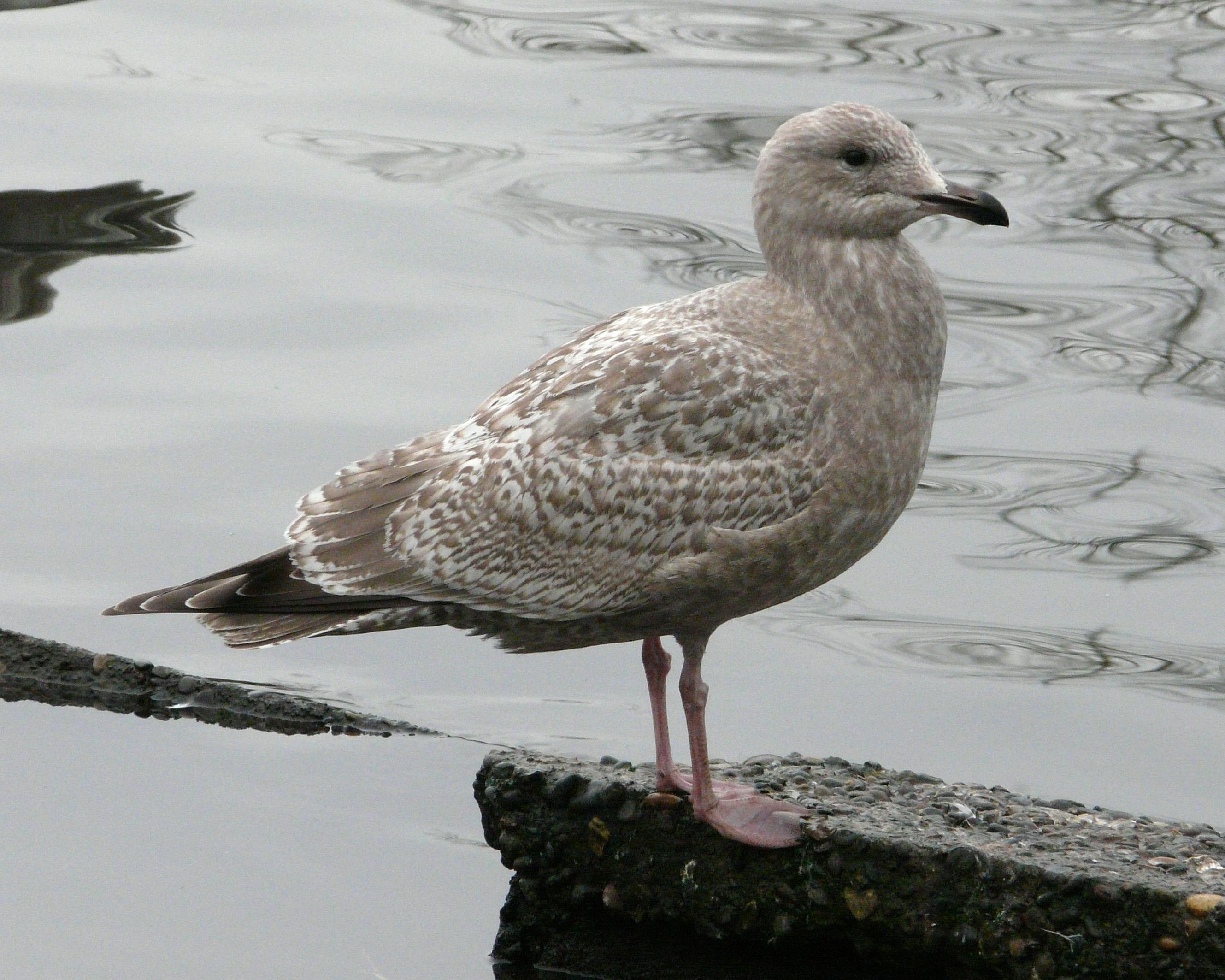 Gull Research Organisation |Thayers Gull